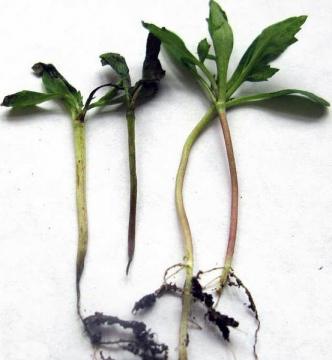 Черная ножка — как защитить рассаду