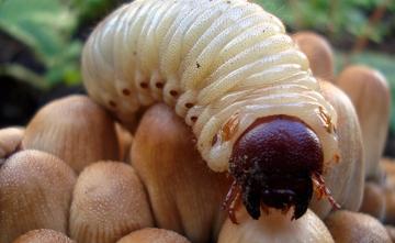 Как быстро избавиться от личинок майского жука