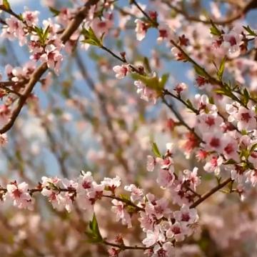 Защита персиков весной. Сингента.