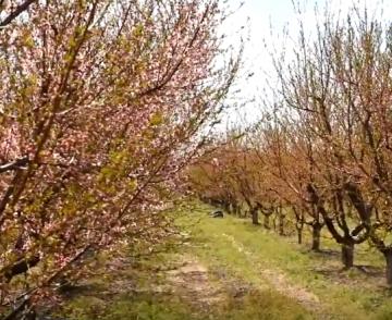 Обработка персика. Сімейний Сад