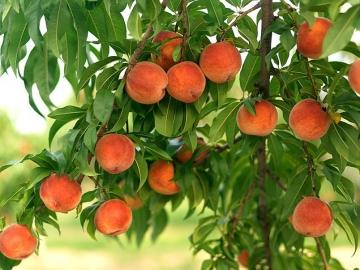 Рекомендации по обработке фруктовых деревьев