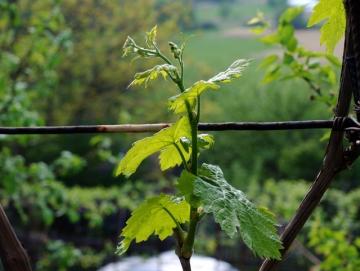 Начало вегетации винограда.Чем обработать?