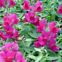 Цветы Львиный зев Твинни F1 Фиолетовый