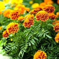 Цветы Бархатцы смесь Бонита