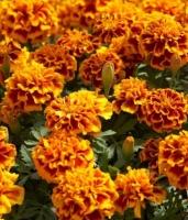 Цветы Бархатцы смесь Брокард