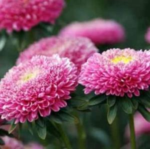 Цветы астра Болеро Афродита