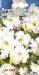 Цветы Петуния Афродита белая F1