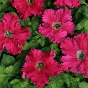 Цветы Петуния Афродита розовая F1