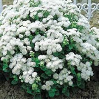 Цветы Агератум Белый шар