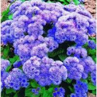 Цветы Агератум Голубой бал