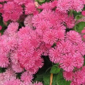 Цветы Агератум Розовый шар