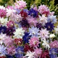 Цветы Аквилегия  гибридная Царская смесь