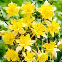Цветы Аквилегия Желтый Гигант