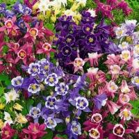 Цветы Аквилегия Бидермейер Гибридная