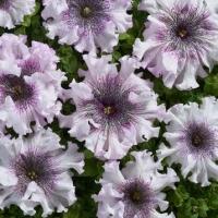 Цветы Петуния Альба F1 СЦ