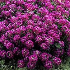Цветы Алиссум Рози О Дэй