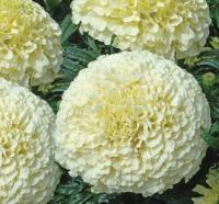 Цветы Бархатцы Аляска