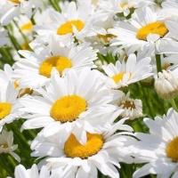Цветы Ромашка Амелия