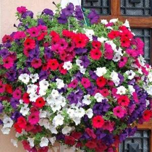 Цветы Петуния ампельная смесь