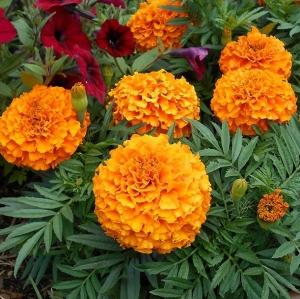 Цветы Бархатцы Апельсиновое Чудо