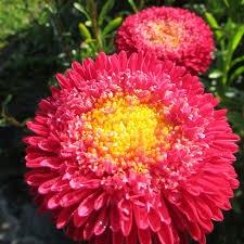 Цветы астра Болеро Артемида
