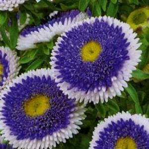 Цветы Астра Голубая луна