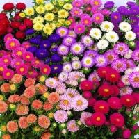 Цветы Астра смесь Мацумото