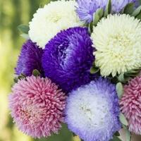 Цветы Астра смесь Балюн