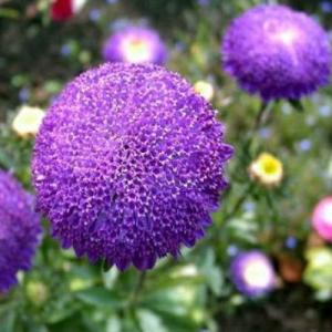 Цветы Астра Виктория
