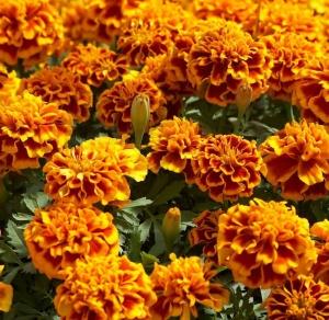 Цветы Бархатцы Атос