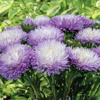 Цветы Астра Баллон Серебристо-голубой