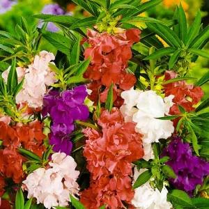 Цветы бальзамин смесь высокорослая