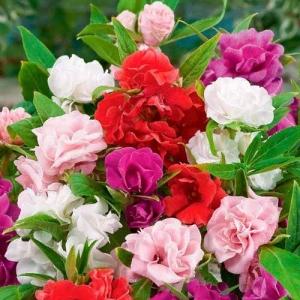 Цветы бальзамин смесь Гулливер высокий