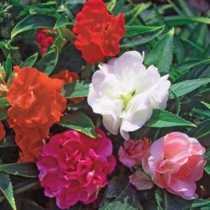 Цветы Бальзамин смесь Мальчик с Пальчик