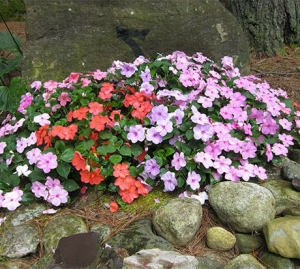 Цветы бальзамин смесь низкорослая