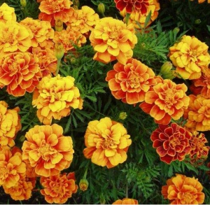 Цветы Бархатцы Гном