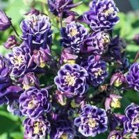 Цветы Аквипегия  Башня Темно-Синяя