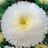 Цветы Астра Суперпринц