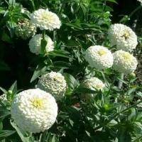 Цветы Циния Белый Принц