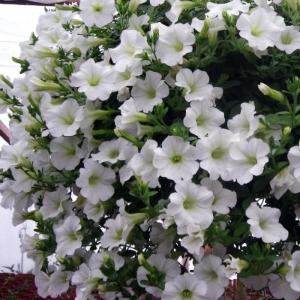 Цветы Петуния ампельная Эксплорер F1 белая