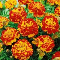 Цветы Бархатцы Болеро
