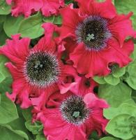 Цветы Петуния Бордовая