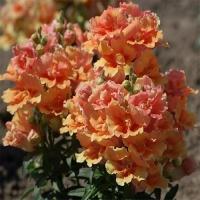Цветы Львиный зев Твинни F1 Бронзовый с прожилками