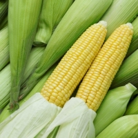 Кукуруза сахарная Брусница