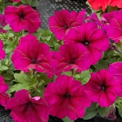 Цветы Петуния Мамбо F1 Бургунди