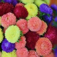Цветы Астра смесь Бютифул Дей