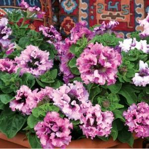 Цветы Петуния Черниго Триумф F1 Фиолетово-Белая