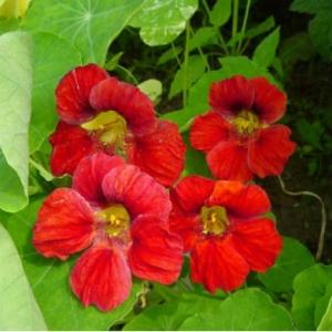 Цветы Настурция Диамант