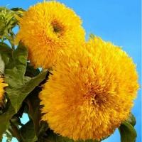 Цветы Подсолнух Диана