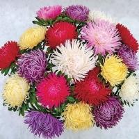 Цветы Астра смесь Дрегон